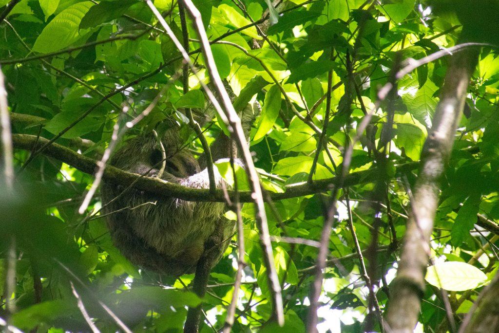 sloth in manuel antonio