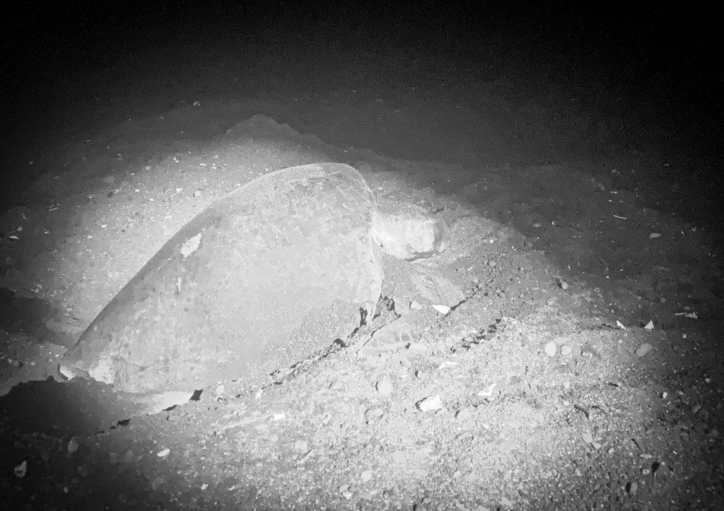 Nesting sea turtle in Ostinal